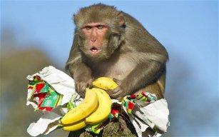monkey monyet